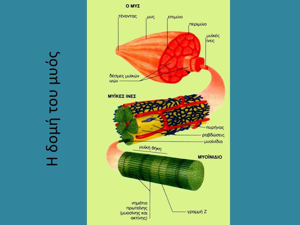 Η δομή του μυός