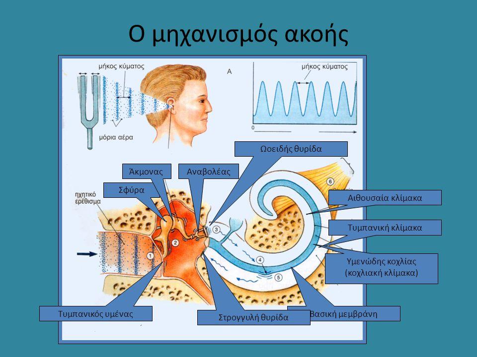 Ο μηχανισμός ακοής Τυμπανική κλίμακα Αιθουσαία κλίμακα Υμενώδης κοχλίας (κοχλιακή κλίμακα) Βασική μεμβράνη Σφύρα ΆκμοναςΑναβολέας Τυμπανικός υμένας Ωο