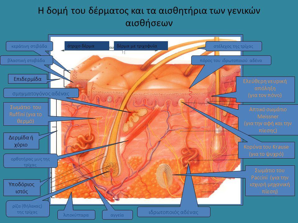 Η δομή του δέρματος και τα αισθητήρια των γενικών αισθήσεων Επιδερμίδα Δερμίδα ή χόριο Υποδόριος ιστός κεράτινη στιβάδα βλαστική στοβάδα αγγεία ιδρωτο