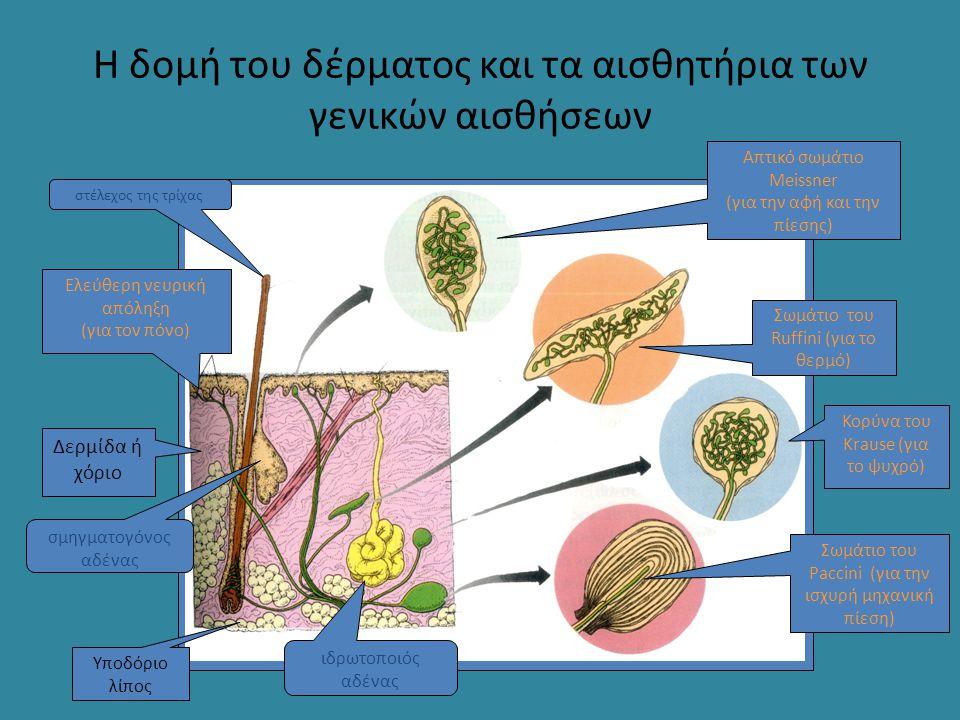 Η δομή του δέρματος και τα αισθητήρια των γενικών αισθήσεων Σωμάτιο του Paccini (για την ισχυρή μηχανική πίεση) Ελεύθερη νευρική απόληξη (για τον πόνο