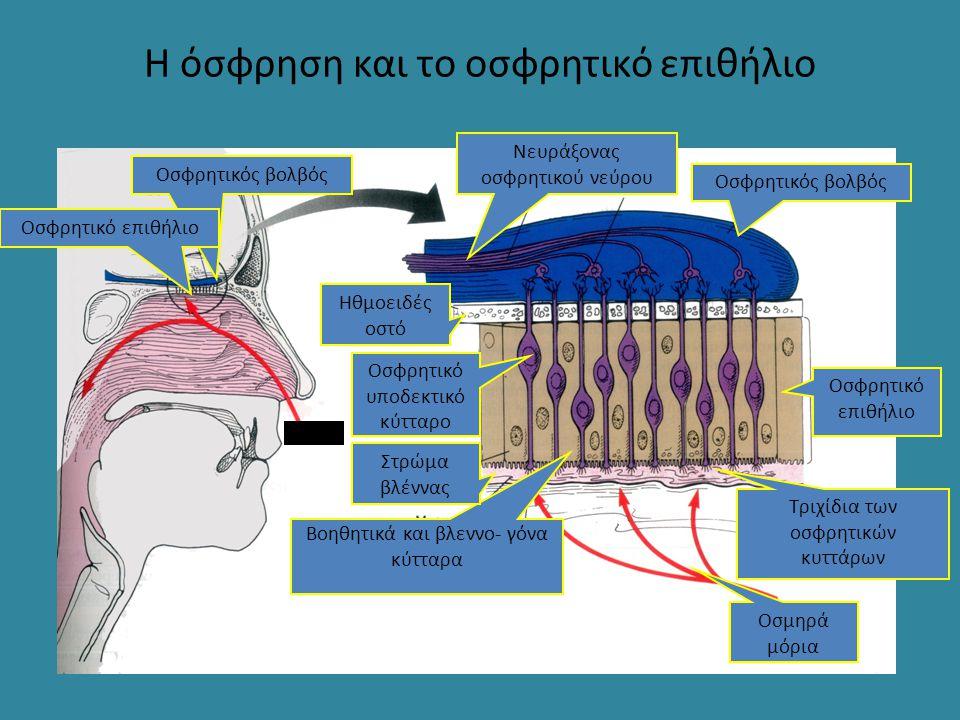 Η όσφρηση και το οσφρητικό επιθήλιο Οσφρητικός βολβός Οσφρητικό επιθήλιο αέρας Οσφρητικός βολβός Οσφρητικό επιθήλιο Οσμηρά μόρια Βοηθητικά και βλεννο-