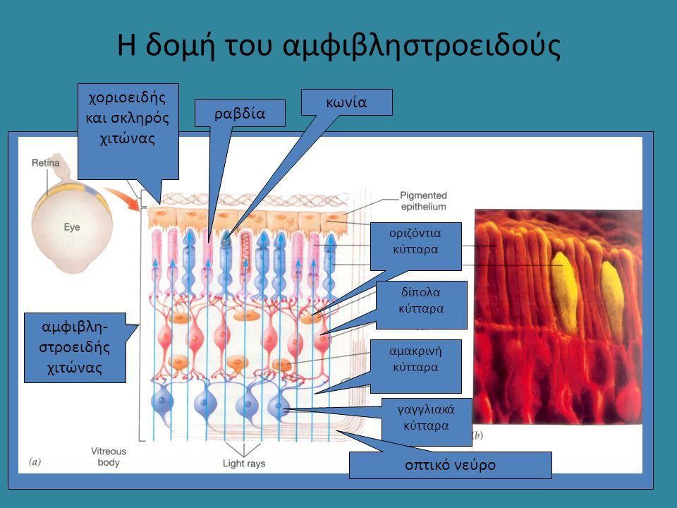 Η δομή του αμφιβληστροειδούς ραβδία κωνία αμφιβλη- στροειδής χιτώνας χοριοειδής και σκληρός χιτώνας οριζόντια κύτταρα δίπολα κύτταρα αμακρινή κύτταρα