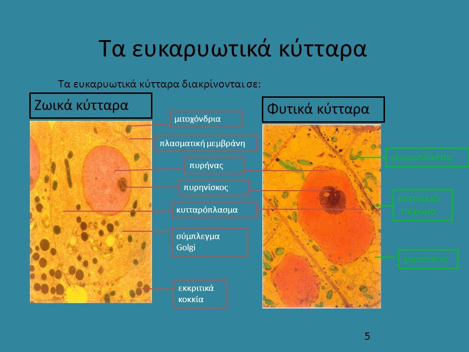 5 Τα ευκαρυωτικά κύτταρα Ζωικά κύτταρα Φυτικά κύτταρα Τα ευκαρυωτικά κύτταρα διακρίνονται σε: πυρήνας πυρηνίσκος χλωροπλάστης κυτταρικό τοίχωμα χυμοτό