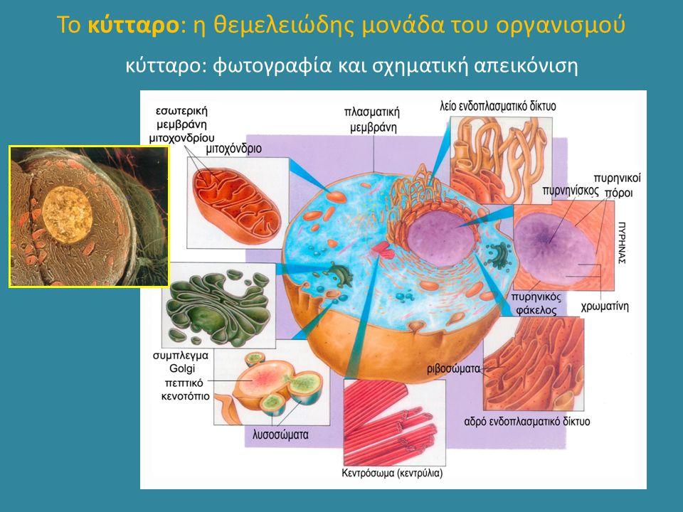 Το κύτταρο: η θεμελειώδης μονάδα του οργανισμού κύτταρο: φωτογραφία και σχηματική απεικόνιση
