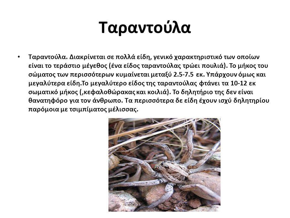 Ταραντούλα Ταραντούλα. Διακρίνεται σε πολλά είδη, γενικό χαρακτηριστικό των οποίων είναι το τεράστιο μέγεθος (ένα είδος ταραντούλας τρώει πουλιά). Το