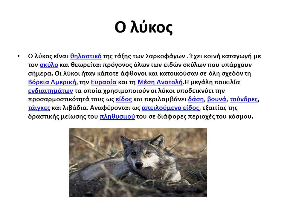 Ο λύκος Ο λύκος είναι θηλαστικό της τάξης των Σαρκοφάγων. Έχει κοινή καταγωγή με τον σκύλο και θεωρείται πρόγονος όλων των ειδών σκύλων που υπάρχουν σ