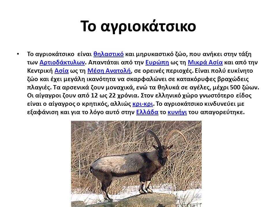 Το αγριοκάτσικο Το αγριοκάτσικο είναι θηλαστικό και μηρυκαστικό ζώο, που ανήκει στην τάξη των Αρτιοδάκτυλων. Απαντάται από την Ευρώπη ως τη Μικρά Ασία
