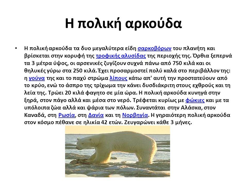 Η πολική αρκούδα Η πολική αρκούδα τα δυο μεγαλύτερα είδη σαρκοβόρων του πλανήτη και βρίσκεται στην κορυφή της τροφικής αλυσίδας της περιοχής της. Όρθι