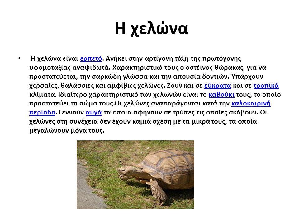 Η χελώνα Η χελώνα είναι ερπετό. Ανήκει στην αρτίγονη τάξη της πρωτόγονης υφομοταξίας αναψιδωτά. Χαρακτηριστικό τους ο οστέινος θώρακας για να προστατε