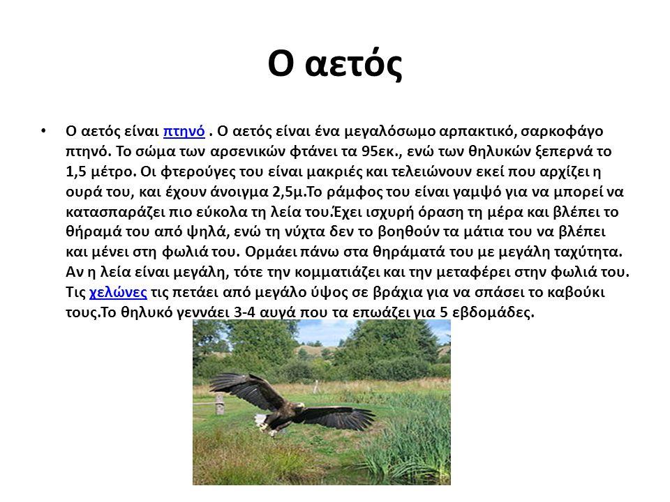O αετός O αετός είναι πτηνό. Ο αετός είναι ένα μεγαλόσωμο αρπακτικό, σαρκοφάγο πτηνό. Το σώμα των αρσενικών φτάνει τα 95εκ., ενώ των θηλυκών ξεπερνά τ