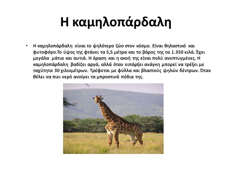 Η καμηλοπάρδαλη Η καμηλοπάρδαλη είναι το ψηλότερο ζώο στον κόσμο. Είναι θηλαστικό και φυτοφάγο.Το ύψος της φτάνει τα 5,5 μέτρα και το βάρος της τα 1.3