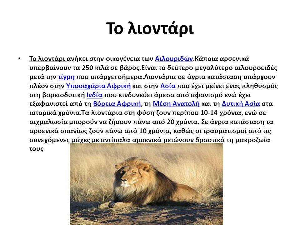 Το λιοντάρι Το λιοντάρι ανήκει στην οικογένεια των Αιλουριδών.Κάποια αρσενικά υπερβαίνουν τα 250 κιλά σε βάρος.Είναι το δεύτερο μεγαλύτερο αιλουροειδέ