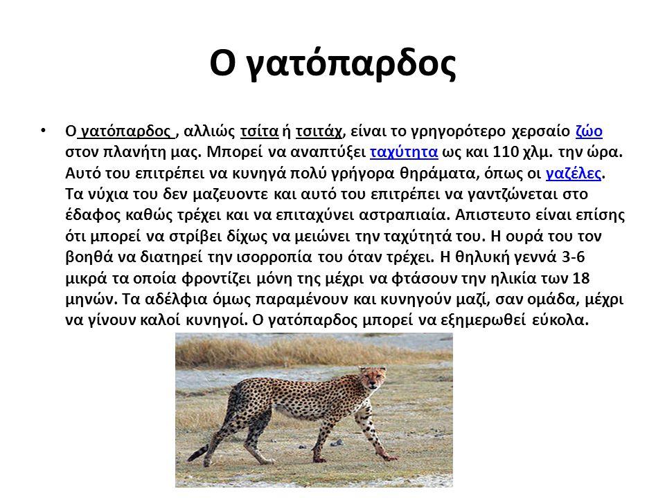 Ο γατόπαρδος Ο γατόπαρδος, αλλιώς τσίτα ή τσιτάχ, είναι το γρηγορότερο χερσαίο ζώο στον πλανήτη μας. Μπορεί να αναπτύξει ταχύτητα ως και 110 χλμ. την