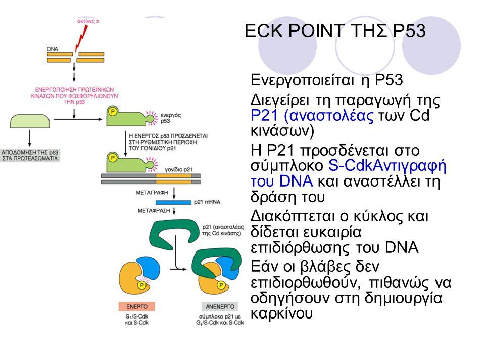CHECK POINT ΤΗΣ P53 Ενεργοποιείται η P53 Διεγείρει τη παραγωγή της P21 (αναστολέας των Cd κινάσων) Η P21 προσδένεται στο σύμπλοκο S-CdkΑντιγραφή του D