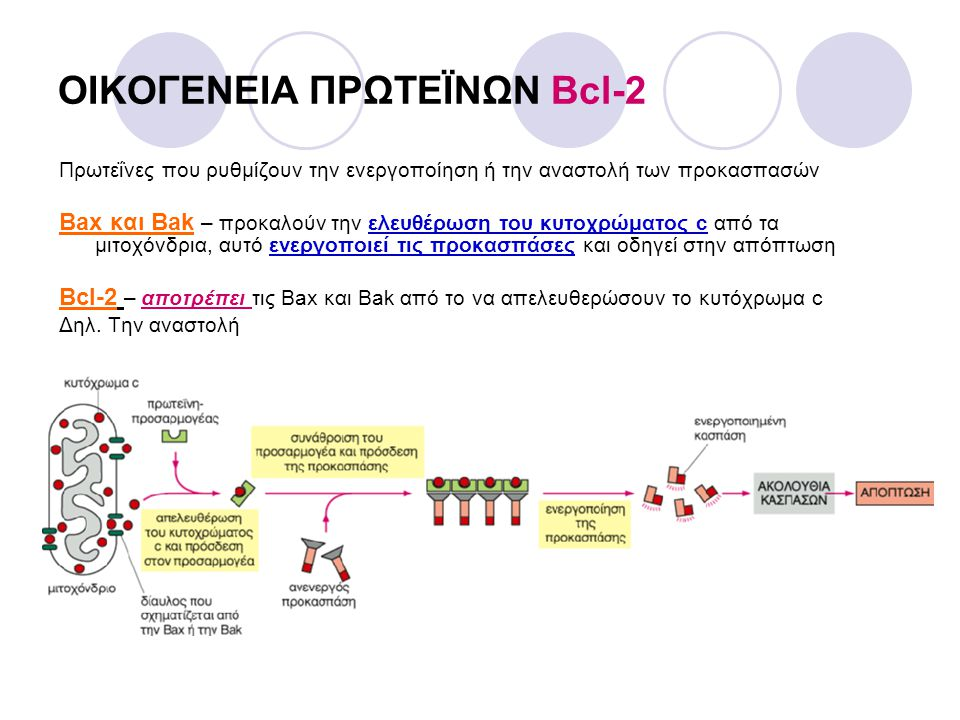 ΟΙΚΟΓΕΝΕΙΑ ΠΡΩΤΕÏΝΩΝ Bcl-2 Πρωτεΐνες που ρυθμίζουν την ενεργοποίηση ή την αναστολή των προκασπασών Bax και Bak – προκαλούν την ελευθέρωση του κυτοχρώμ