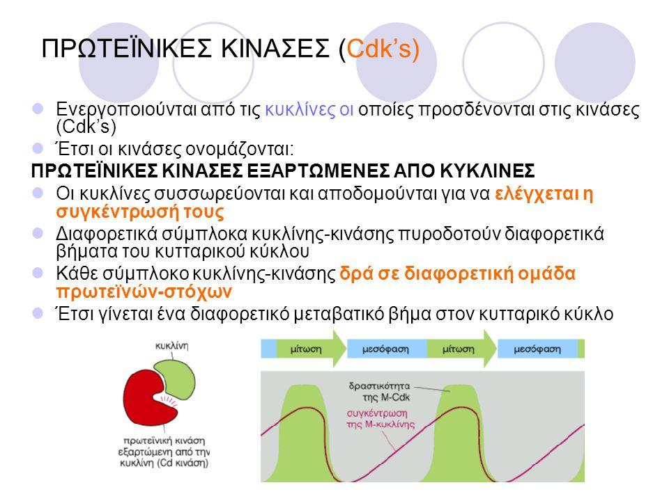 ΠΡΩΤΕΪΝΙΚΕΣ ΚΙΝΑΣΕΣ (Cdk's) Ενεργοποιούνται από τις κυκλίνες οι οποίες προσδένονται στις κινάσες (Cdk's) Έτσι οι κινάσες ονομάζονται: ΠΡΩΤΕΪΝΙΚΕΣ ΚΙΝΑ