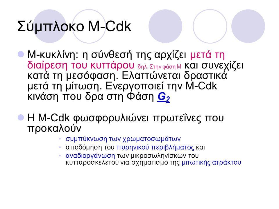 Σύμπλοκο S-Cdk Το σύμπλοκο αναγνώρισης της αφετηρίας (ORC) μένει συνδεδεμένο στις αφετηρίες αντιγραφής του DNA Πάνω του προσδένεται η πρωτεΐνη Cdc6 για να σχηματιστεί το σύμπλοκο που υποκινεί την αντιγραφή Ενεργοποιείται η S-Cdk και αρχίζει η αντιγραφή του DNA Επίσης, η S-Cdk προκαλεί την φωσφορυλίωση της Cdc6 και την απομακρύνει από το ORC Άρα, εμποδίζεται η αντιγραφή από το να ξεκινήσει από την ίδια αφετηρία