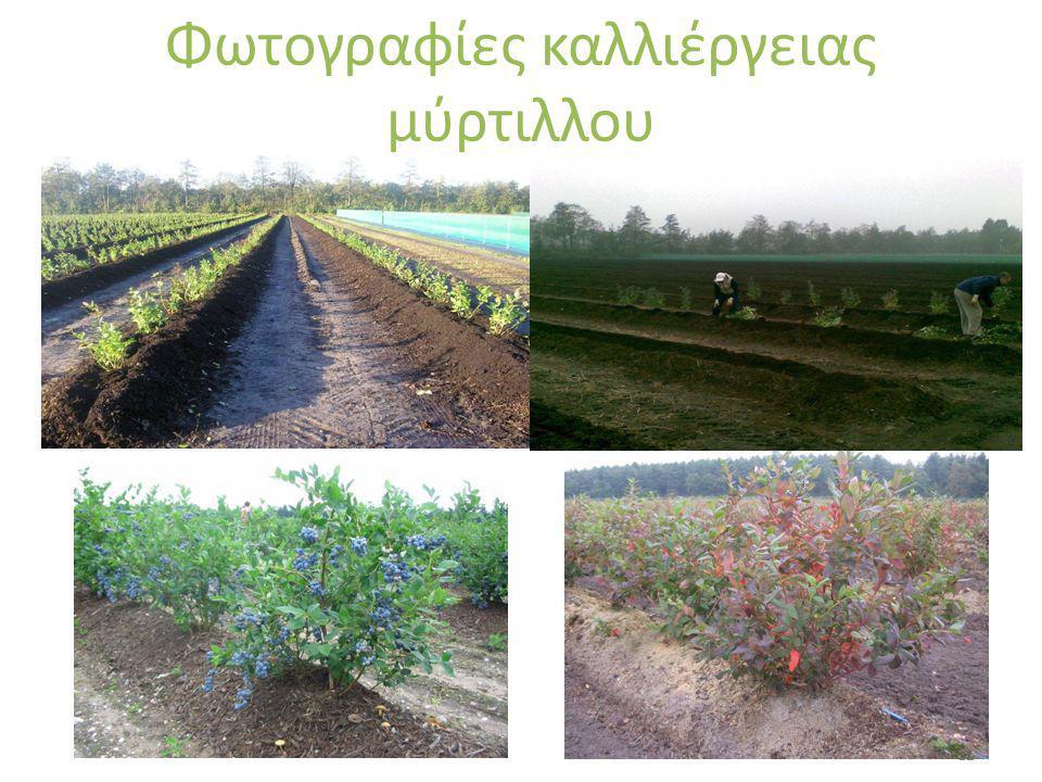 Φωτογραφίες καλλιέργειας μύρτιλλου 12