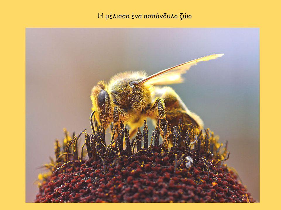 Η μέλισσα ένα ασπόνδυλο ζώο