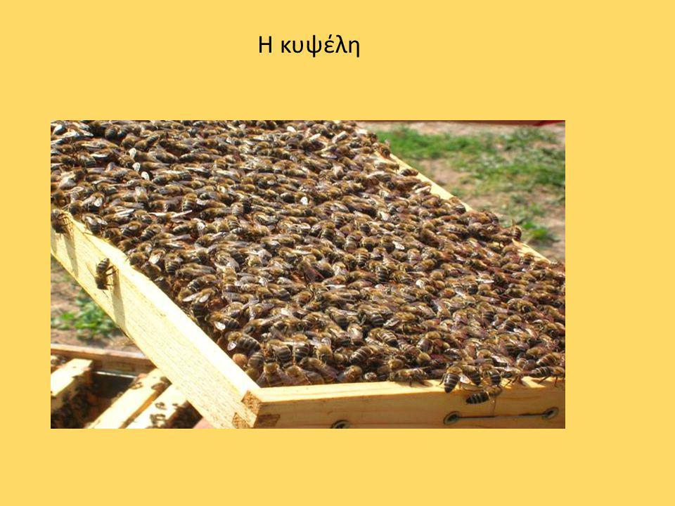 ΠΩΣ ΦΤΙΑΧΝΕΤΑΙ ΤΟ ΜΕΛΙ; Oι μέλισσες μιας κυψέλης, πετάνε από λουλούδι σε λουλούδι και συλλέγουν γύρη και νέκταρ.