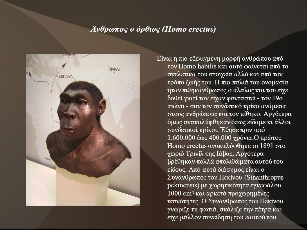 Άνθρωπος ο όρθιος (Homo erectus) Είναι η πιο εξελιγμένη μορφή ανθρώπου από τον Homo habilis και αυτό φαίνεται από τα σκελετικά του στοιχεία αλλά και α
