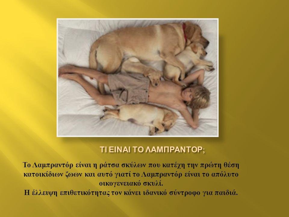 Το Λαμπραντόρ είναι η ράτσα σκύλων που κατέχη την πρώτη θέση κατοικίδιων ζωων και αυτό γιατί το Λαμπραντόρ είναι το απόλυτο οικογενειακό σκυλί.