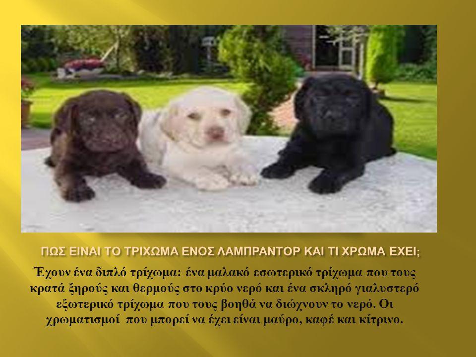 Το Λαμπραντόρ είναι η ράτσα σκύλων που κατέχη την πρώτη θέση κατοικίδιων ζωων και αυτό γιατί το Λαμπραντόρ είναι το απόλυτο οικογενειακό σκυλί. Η έλλε