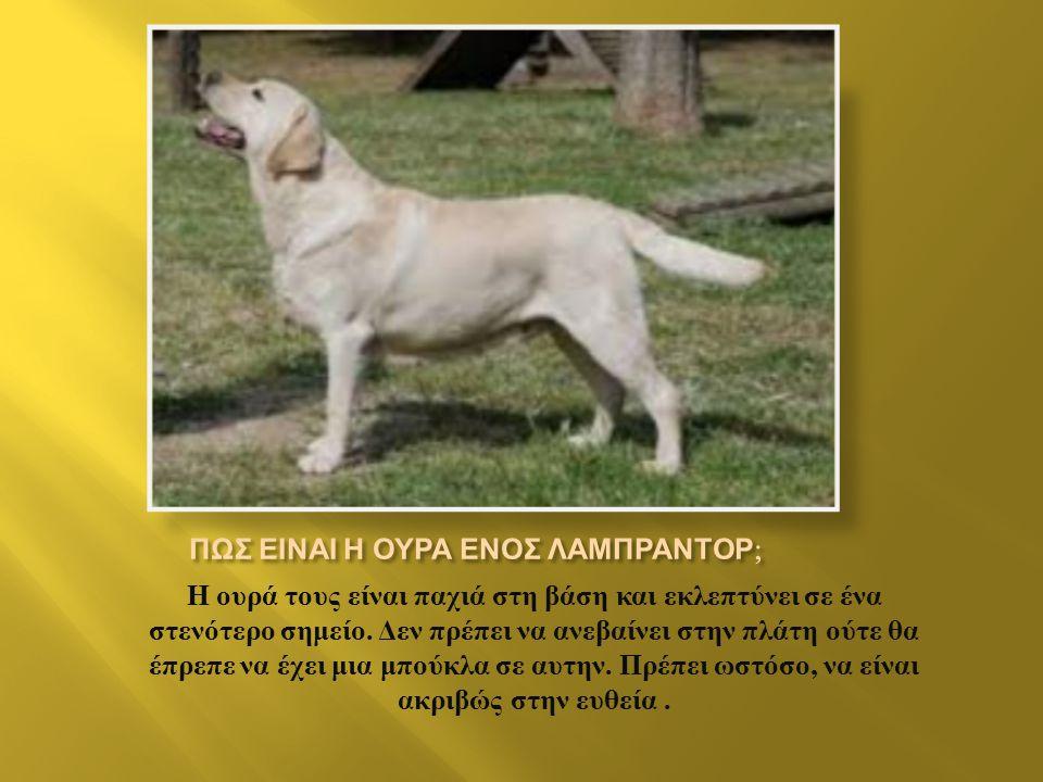 Τα Λαμπραντόρ είναι σκυλιά μεσαίου προς μεγάλου μεγέθους. Συγκεκριμένα, το ύψος ενός αρσενικού Λαμπραντόρ κυμαίνεται από 56 έως 63 εκατοστά ενώ το αντ