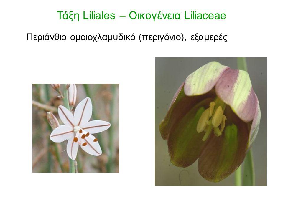 Στήμονες 6 Τάξη Liliales – Οικογένεια Liliaceae