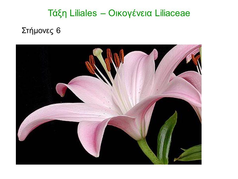 Φυτά φαρμακευτικά Colchicum autumnale (κολχικίνη – κυτταροστατικό) Τάξη Liliales – Οικογένεια Liliaceae