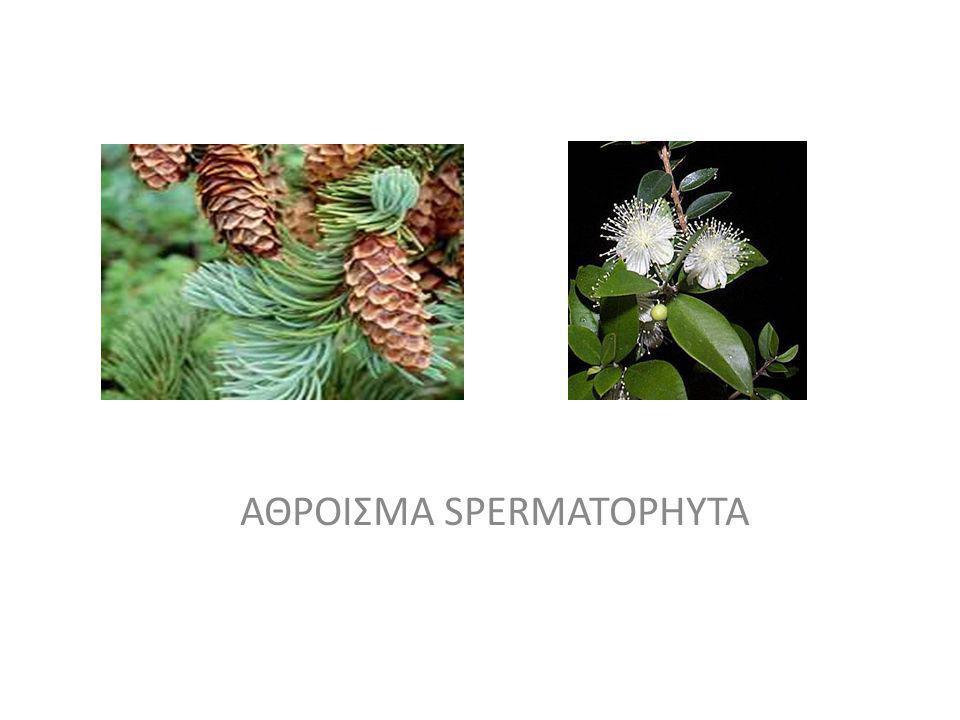 SPERMATOPHYTA Yποάθροισμα I Coniferophytina c.600 είδη Yποάθροισμα II Cycadophytina c.