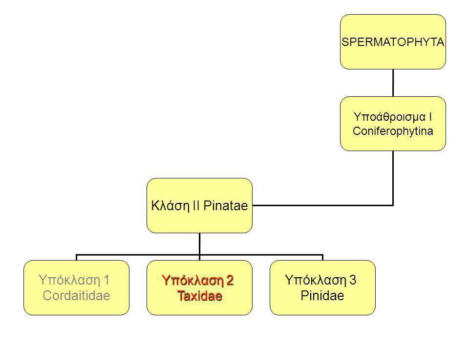 SPERMATOPHYTA Yποάθροισμα I Coniferophytina Κλάση ΙI Pinatae Υπόκλαση 1 Cordaitidae Υπόκλαση 2 Taxidae Υπόκλαση 3 Pinidae