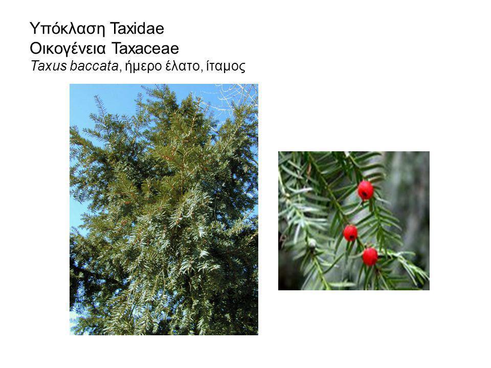 Υπόκλαση Taxidae Οικογένεια Taxaceae Taxus baccata, ήμερο έλατο, ίταμος