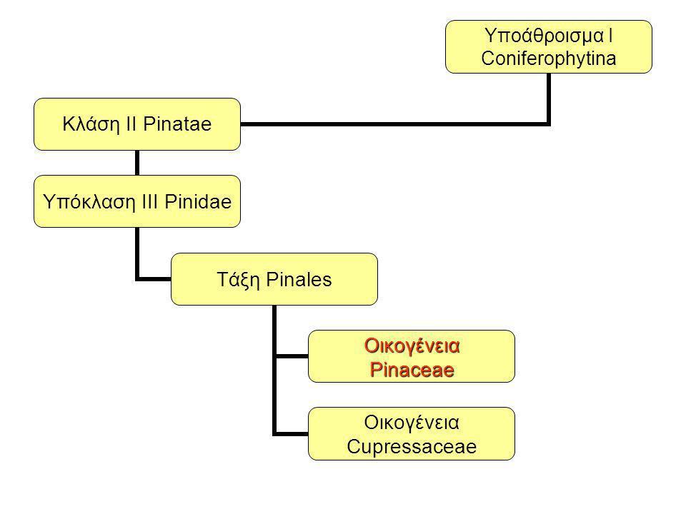 Οικογένεια Pinaceae: φύλλα βελονοειδή, σε ομάδες των 2-5 σε βραχυλάδια ή μεμονωμένα Ξυλώδεις κώνοι (κουκουνάρια) και σπέρματα με πτερύγιο Αρσενικές ταξιανθίες και γυρεόκοκκοι με αεροφόρους σάκκους