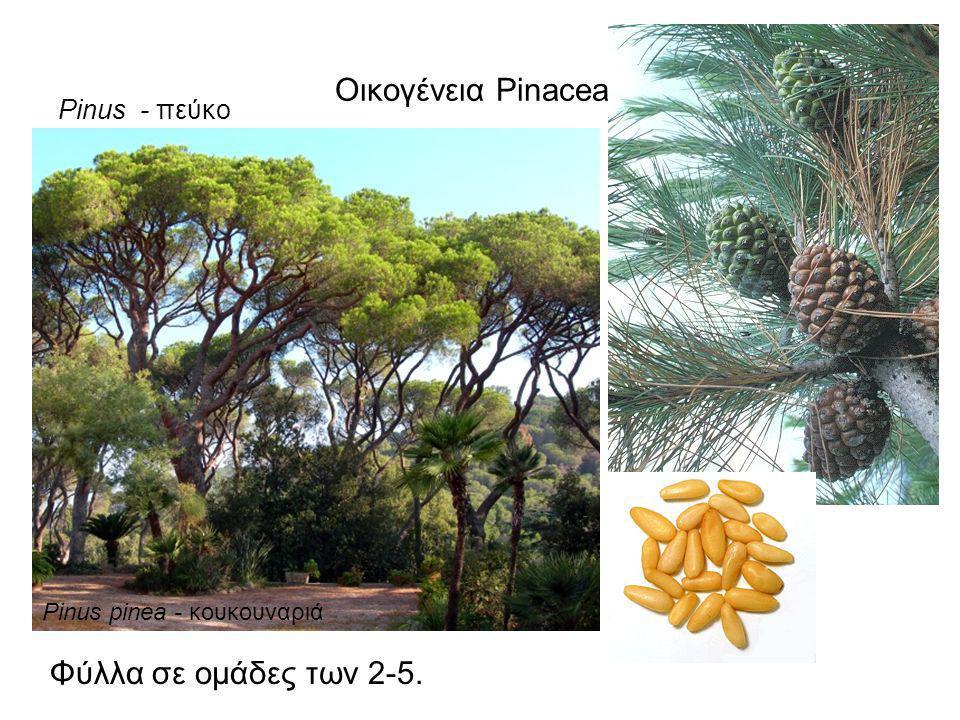 Οικογένεια Pinaceae Pinus - πεύκο Φύλλα σε ομάδες των 2-5. Pinus pinea - κουκουναριά