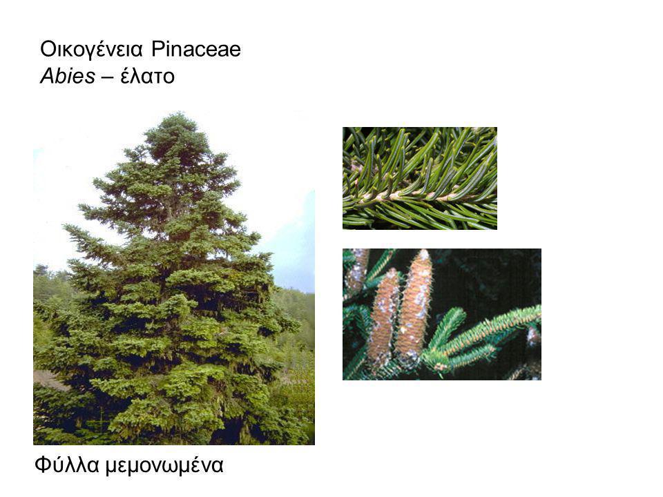 Οικογένεια Cupressaceae: Φύλλα λεπιοειδή ή βελονοειδή.