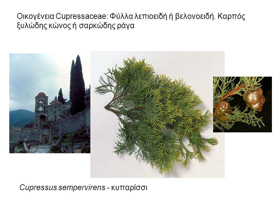 Οικογένεια Cupressaceae: Φύλλα λεπιοειδή ή βελονοειδή. Καρπός ξυλώδης κώνος ή σαρκώδης ράγα Cupressus sempervirens - κυπαρίσσι