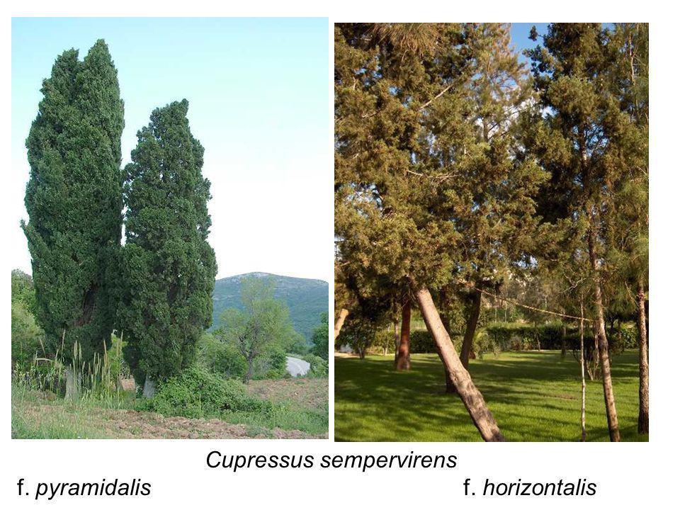 Cupressus sempervirens f. pyramidalis f. horizontalis