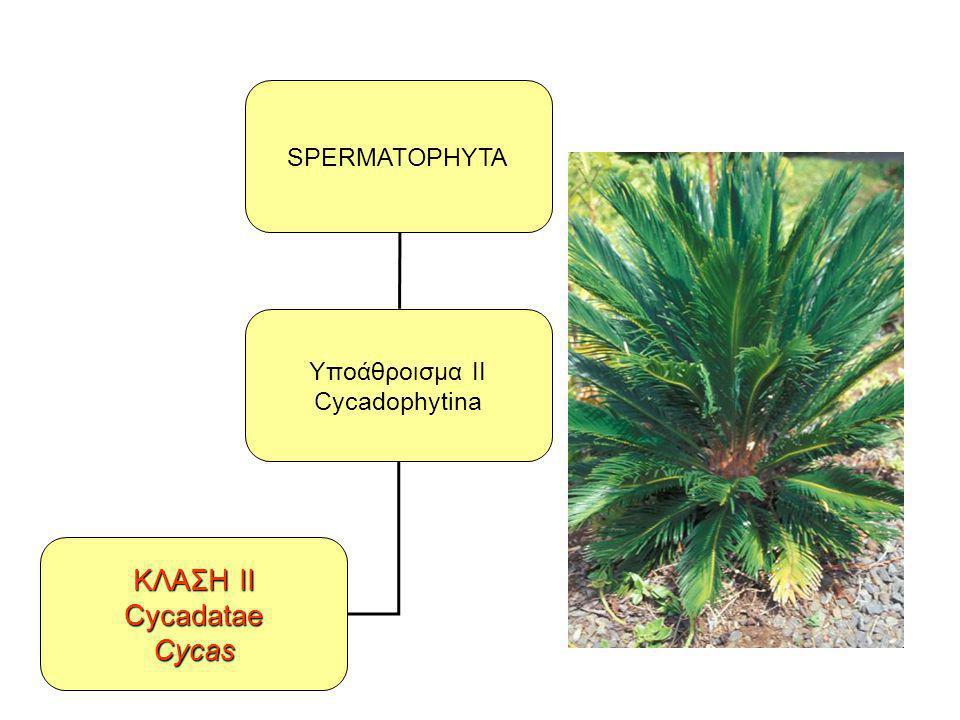 SPERMATOPHYTA Υποάθροισμα II Cycadophytina ΚΛΑΣΗ II CycadataeCycas