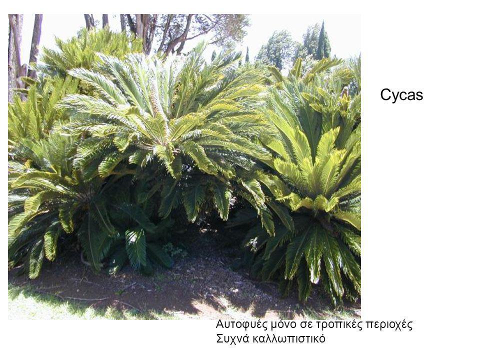 Aυτοφυές μόνο σε τροπικές περιοχές Συχνά καλλωπιστικό Cycas