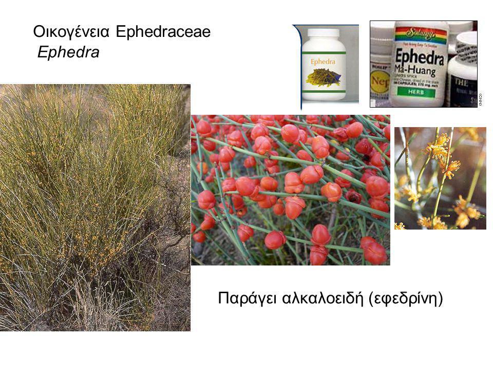 Οικογένεια Ephedraceae Ephedra Παράγει αλκαλοειδή (εφεδρίνη)