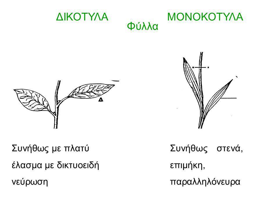 ΔΙΚΟΤΥΛΑΜΟΝΟΚΟΤΥΛΑ Φύλλα Συνήθως με πλατύ έλασμα με δικτυοειδή νεύρωση Συνήθως στενά, επιμήκη, παραλληλόνευρα