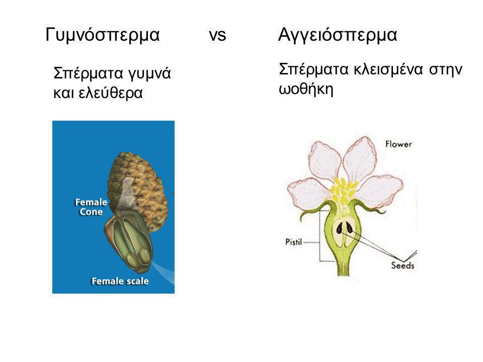 Γυμνόσπερμα 1.Συνήθως βελονοειδή ή λεπιοειδή φύλλα (σπανίως με πλατύ έλασμα) 2.Άνθη χωρίς περιάνθιο, σχεδόν πάντα μονογενή 3.Στήμονες → μικροσποριόφυλλα / Καρπόφυλλα → μακροσποριόφυλλα 4.Μεγάλος αριθμός γυρεοκόκκων – Ανεμογαμή φυτά 5.Ελεύθερες σπερμοβλάστες 6.Καρπός συνήθως ξυλώδης κώνος