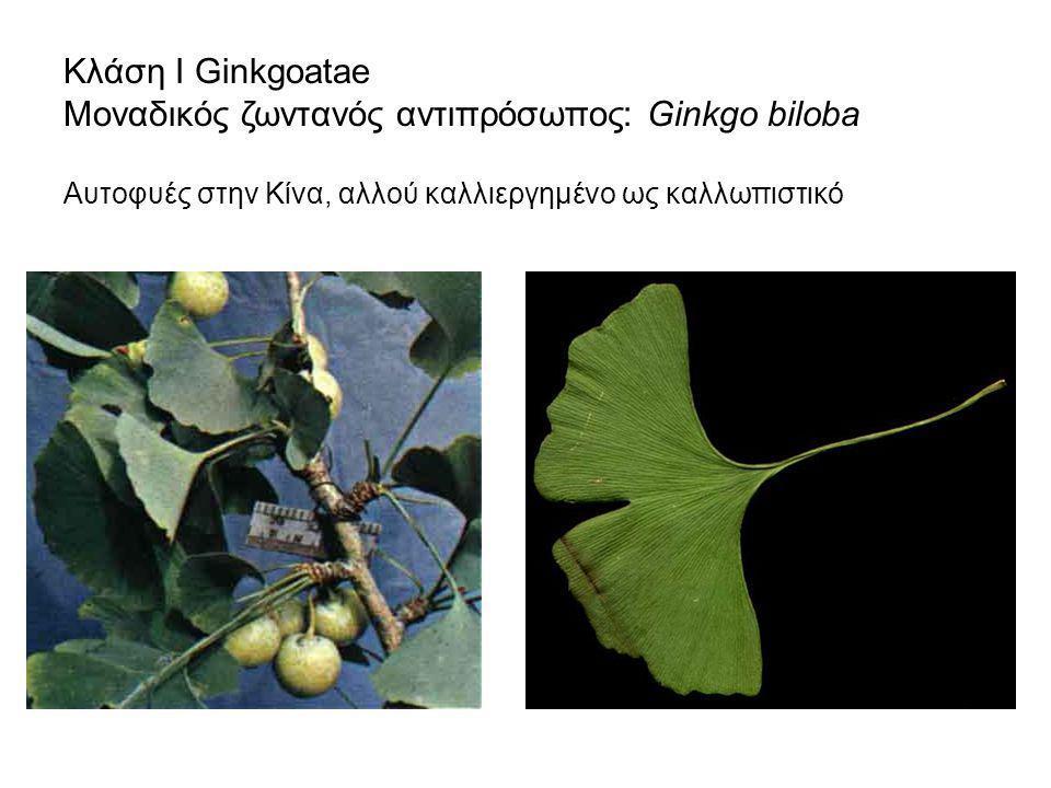 Κλάση Ι Ginkgoatae Μοναδικός ζωντανός αντιπρόσωπος: Ginkgo biloba Αυτοφυές στην Κίνα, αλλού καλλιεργημένο ως καλλωπιστικό