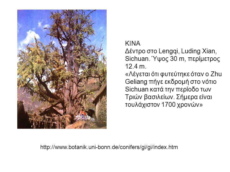 ΚΙΝΑ Δέντρο στο Lengqi, Luding Xian, Sichuan. Ύψος 30 m, περίμετρος 12.4 m. «Λέγεται ότι φυτεύτηκε όταν ο Zhu Geliang πήγε εκδρομή στο νότιο Sichuan κ