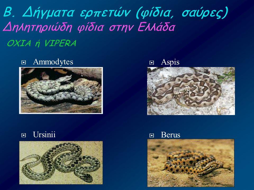  Αmmodytes  Ursinii  Αspis  Berus