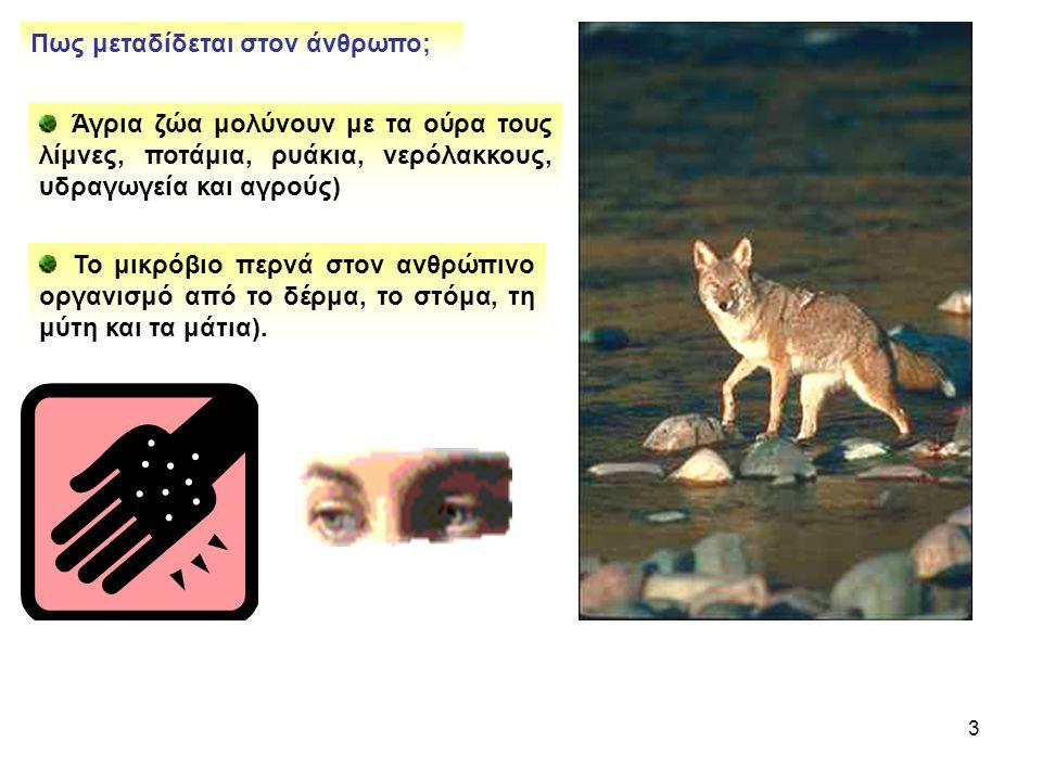 3 Πως μεταδίδεται στον άνθρωπο; Άγρια ζώα μολύνουν με τα ούρα τους λίμνες, ποτάμια, ρυάκια, νερόλακκους, υδραγωγεία και αγρούς) Το μικρόβιο περνά στον ανθρώπινο οργανισμό από το δέρμα, το στόμα, τη μύτη και τα μάτια).
