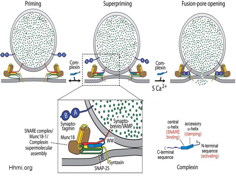 49  Complexin knock-out mice  Μείωση στην έκκριση νευροδιαβιβαστών  Λόγο της έλλειψης Ca+ στην συνοπτική διαδικασία  Synaptotagmin-1  Εξαρτώμενος