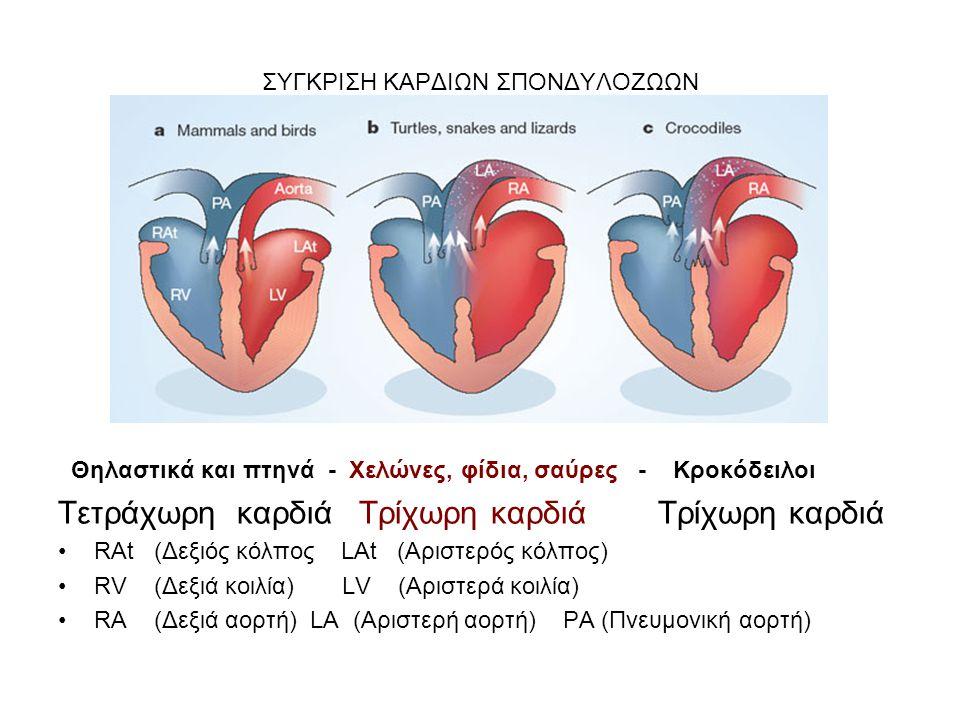 ΣΥΓΚΡΙΣΗ ΚΑΡΔΙΩΝ ΣΠΟΝΔΥΛΟΖΩΩΝ Θηλαστικά και πτηνά - Χελώνες, φίδια, σαύρες - Κροκόδειλοι Τετράχωρη καρδιά Τρίχωρη καρδιά Τρίχωρη καρδιά RAt (Δεξιός κό