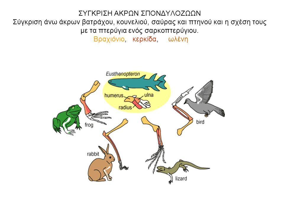 ΣΥΓΚΡΙΣΗ ΑΚΡΩΝ ΣΠΟΝΔΥΛΟΖΩΩΝ Σύγκριση άνω άκρων βατράχου, κουνελιού, σαύρας και πτηνού και η σχέση τους με τα πτερύγια ενός σαρκοπτερύγιου. Βραχιόνιο,
